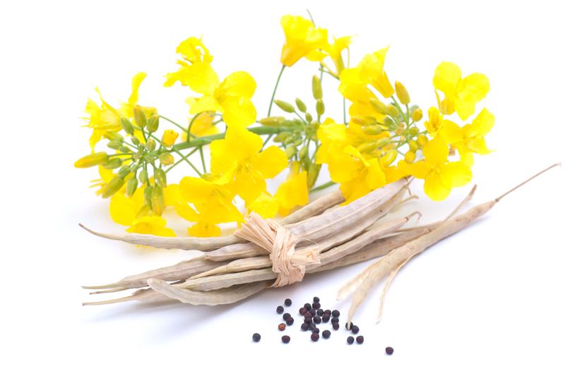 Цветок рапса и семена